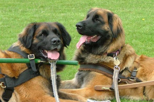Southern Leonberger Carting Display
