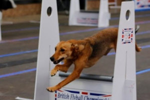 Aces High Flyball Team
